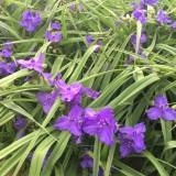 一年生紫露草 基地10-20公分紫露草多少钱一棵