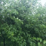 杏树小苗价格 基地3-5公分杏树多少钱一棵