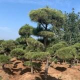 江苏造型黑松基地 10-12公分造型黑松多少钱一棵