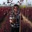一年生紫叶矮樱 基地1-2公分紫叶矮樱多少钱一棵