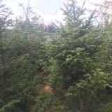 4米云杉苗价格  云杉种植基地