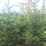 云杉多少钱一棵   基地供应4米高云杉树