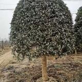 12公分桂花树价格多少 桂花树市场价格