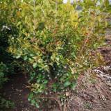 在哪里能买到瓜子黄杨苗 高50公分60公分瓜子黄杨价格