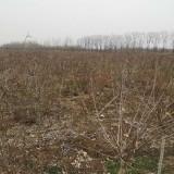 哪里有腊梅树苗出售 江苏宿迁腊梅基地