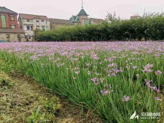 一年生紫娇花 40公分紫娇花 基地紫娇花小苗