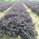 红花继木地苗哪里有货 40公分高红花继木报价