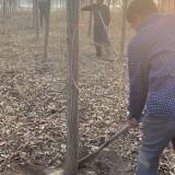 供应13公分榔榆树   榔榆树种植基地