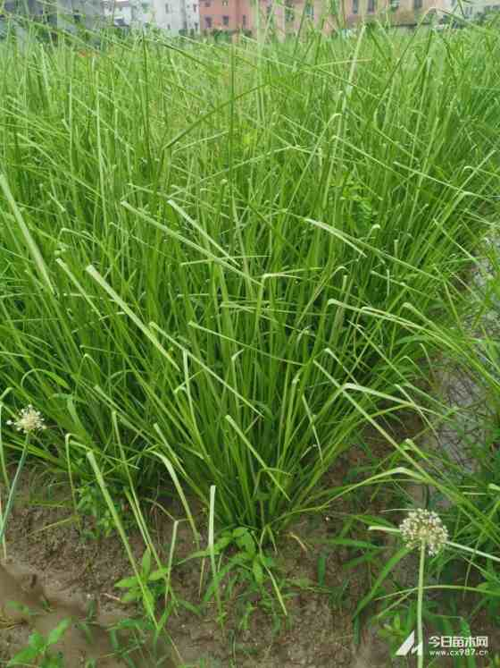 一年生香根草 香根草小苗 1米香根草价格