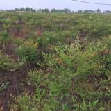 南天竹苗多少钱一棵 50公分高南天竹价格