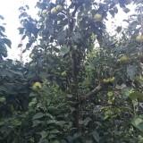 5公分6公分梨树多少钱一棵  7公分梨树批发