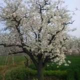 5公分梨树哪里有卖  江苏梨树基地批发