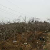 12公分山杏树价格 山杏树苗批发多少钱一棵