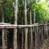 地径5公分菠萝蜜树 2米5菠萝蜜树基地直供