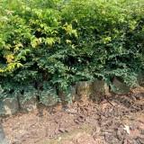 黑袋嘉宝果苗 嘉宝果种植基地