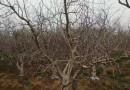 哪里有山杏树苗出售 江苏10公分山杏树价格