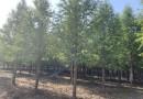 2公分墨西哥落羽杉价格    基地供应墨西哥落羽杉
