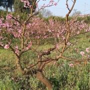 桃树苗基地批发 成都桃树苗基地