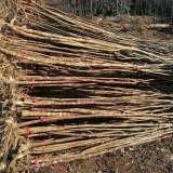 一年生构树 40-60公分构树 哪里有构树小苗
