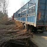 10公分构树价格 基地15公分构树多少钱一棵
