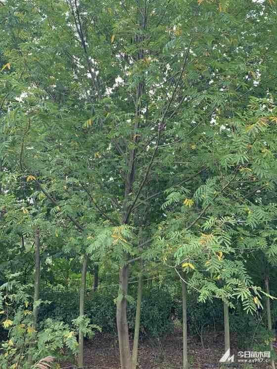 8公分枫杨树价格 基地9公分枫杨树多少钱一棵