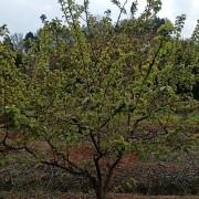 樱桃树苗价格多少钱一棵 成都樱桃树苗