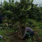 2公分枇杷树多少钱一棵  枇杷树基地批发