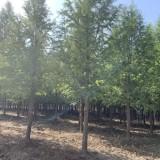 基地直供10公分墨西哥落羽杉  精品墨西哥落羽杉价格