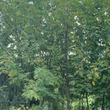 5公分枫杨树价格 直径6公分枫杨多少钱一棵