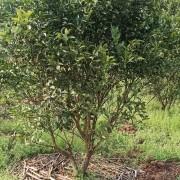 5公分橘子树价格 5~15公分桔子树苗批发