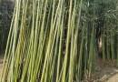 米径4公分竹子报价 竹子工程苗多少钱一棵