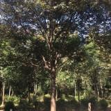 一年生榉树 江苏榉树小苗 基地2-3公分榉树
