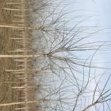 10公分金叶复叶槭价格 金叶复叶槭价格表