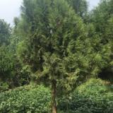 圆柏苗哪里有卖的 2.2米高圆柏树苗价格表