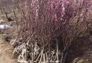 榆叶梅批发价格  江苏哪里有卖榆叶梅