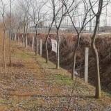 9公分朴树价格 基地10公分朴树多少钱一棵