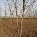 6公分合欢树价格 基地7公分合欢树多少钱一棵