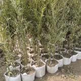 哪里有卖竹子苗的 江苏竹子袋苗批发