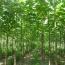 泡桐树多少钱一棵   3公分泡桐树基地供应