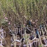 榆叶梅多少钱一棵 4公分精品榆叶梅供应