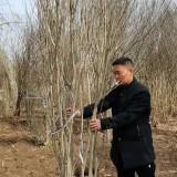 1米5丛生木槿价格 冠幅1.5米绿化用丛生木槿批发