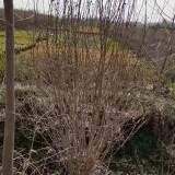 5公分木槿价格 江苏木槿树苗多少钱一棵