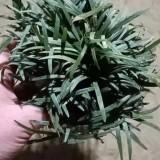 日本麦冬草苗价格 日本麦冬草多少钱一斤
