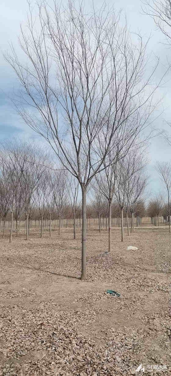 10公分櫸樹多少錢一棵 12公分櫸樹15公分櫸樹價格