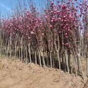 5公分紫玉兰价格 基地紫玉兰树多少钱一棵