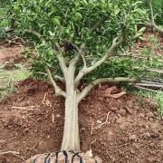 成都橘子苗圃基地直供 大桔子树苗 砂糖橘子树苗