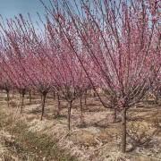8公分红梅多少钱一棵 基地红梅树苗价格