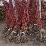 1米红瑞木多少钱一棵 江苏红瑞木价格