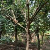 8公分黄栌树 10公分黄栌价格多少钱一棵