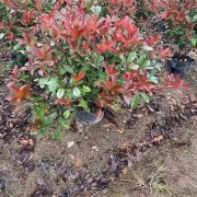江苏红叶石楠大杯苗基地 80公分红叶石楠价格